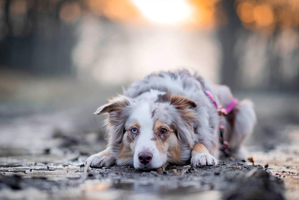 Hundetricks Kopf ablegen