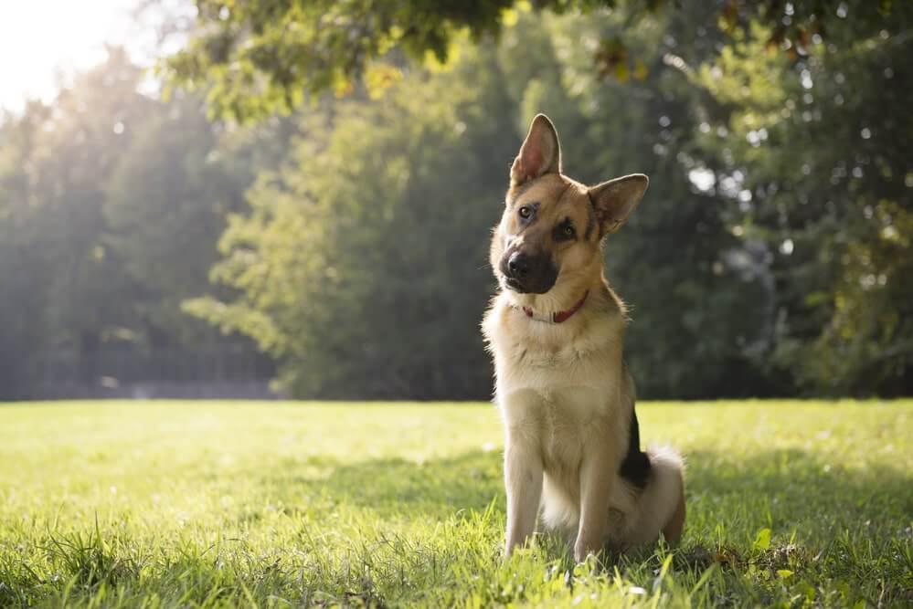 Pubertät beim Hund