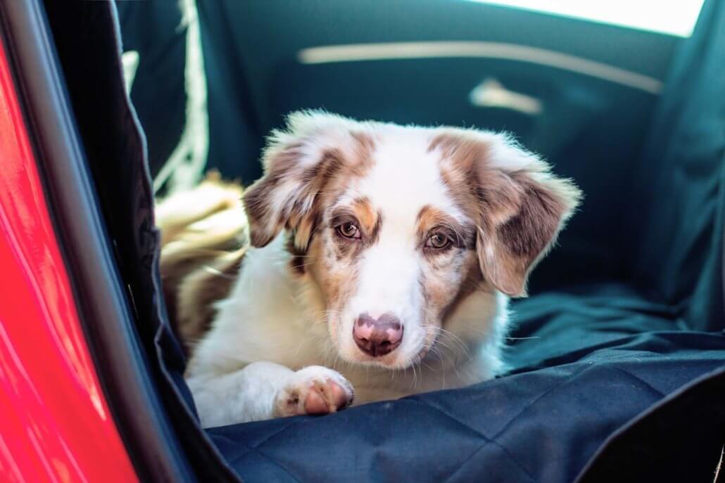 floxikfreunde aussie_nelli testet die Autoschondecke und den Sicherheitsgurt für den Hund von Floxik